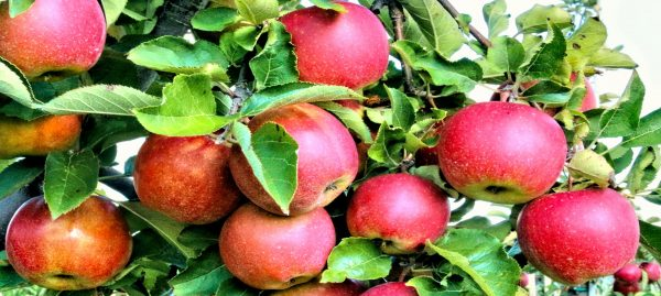 Apple day with Ruskin College